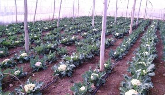 Как вырастить цветную капусту на огороде: тонкости, секреты, практические советы