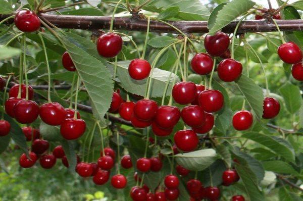 Обзор самоплодных сортов вишни для Подмосковья