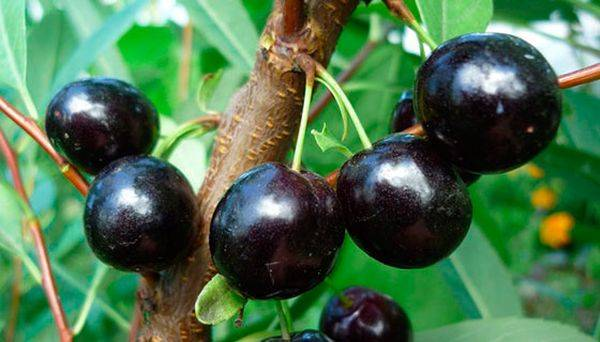 Характеристика среднерослой вишни сорта Ночка
